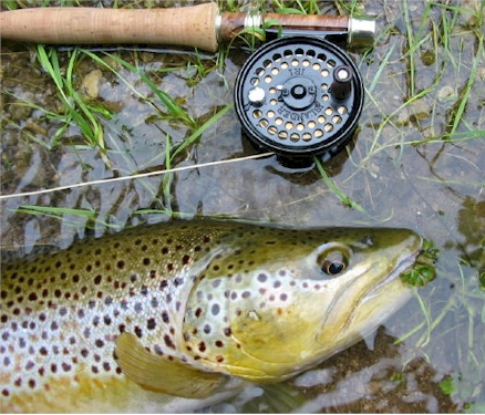 Brown Trout Credit River Fly Fishing
