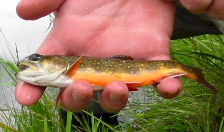 Another little brookie or brook trout