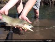 Releasing a Cutthroat Trout